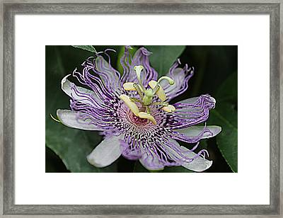 Passion Beauty Framed Print by Sarah E Kohara