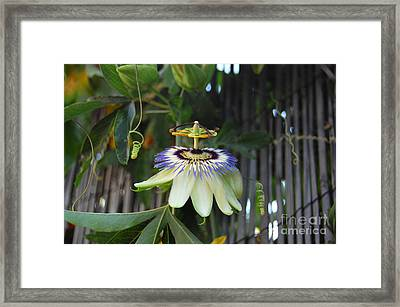 Passion Flower And Vines Framed Print by Debra Thompson