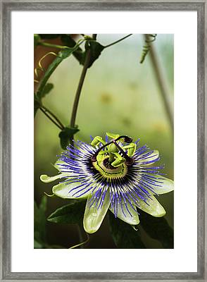 Passion Flower Blooms In A Greenhouse Framed Print