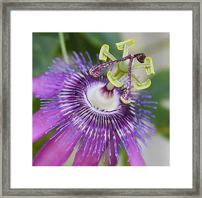Passion Flower Close Up Framed Print