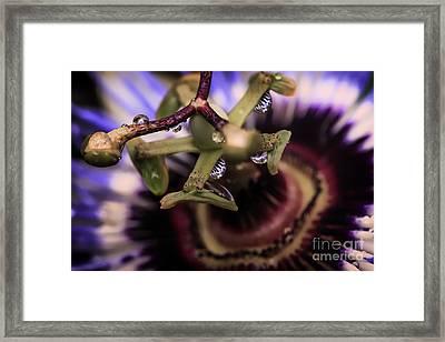 Passion Flower Droplets Framed Print