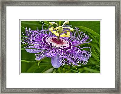 Passion Flower Easter Framed Print by Geraldine Scull