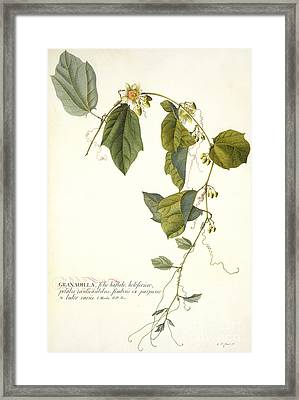 Passion Flower Framed Print by Georg Dionysius Ehret