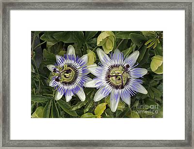 Passion Flower Hybrid Cultivar Framed Print