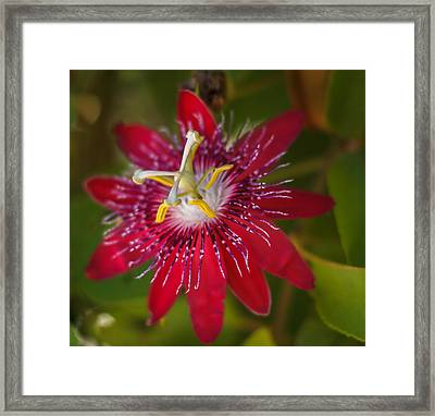 Framed Print featuring the photograph Passion Flower by Jane Luxton