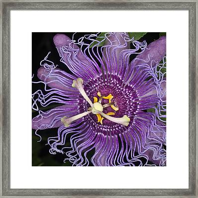 Passion Flower Framed Print by Jeff Wright
