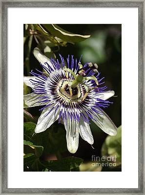 Passion-flower Framed Print by Joy Watson