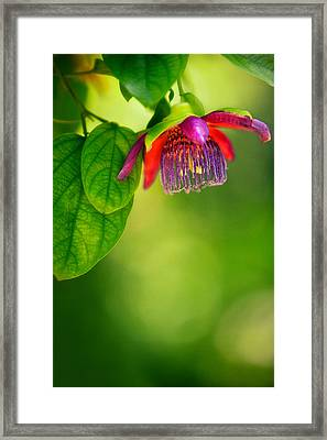 Passion Flower Framed Print by Julio Solar