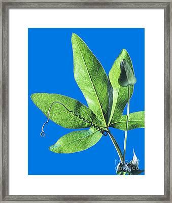 Passion Flower Leaf Framed Print by Martyn F. Chillmaid