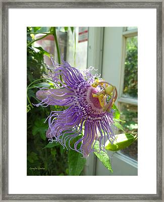 Passion Flower Framed Print by Lingfai Leung