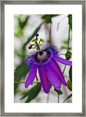 Passion Flower Framed Print by Maj Seda