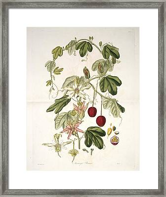 Passion Flower (passiflora Aurantia) Framed Print by Science Photo Library