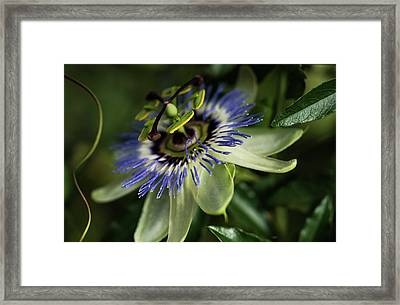 Passion Flower  Passiflora  Blooms Framed Print by Robert L. Potts