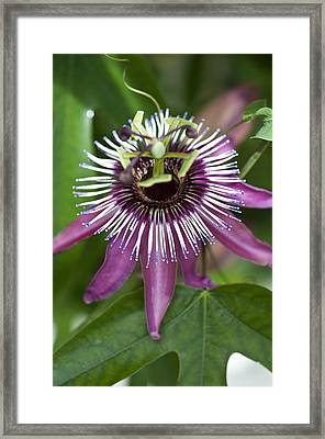 Passion Flower (passiflora Caerulea) Framed Print by Science Photo Library
