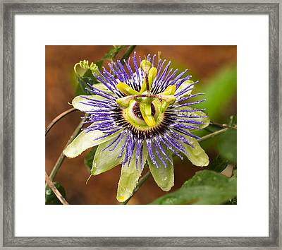 Passion Flower Framed Print by Patricia Schaefer