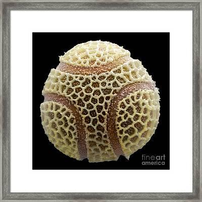 Passion Flower Pollen, Sem Framed Print