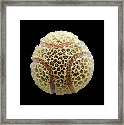 Passion Flower Pollen, Sem Framed Print by Power And Syred