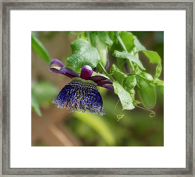 Passion Flower - Ruby Glow Framed Print