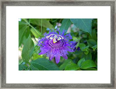 Passion Flower, Usa Framed Print