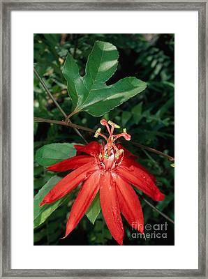 Passion-flower Vine Passiflora Sp Framed Print by Gregory G. Dimijian, M.D.