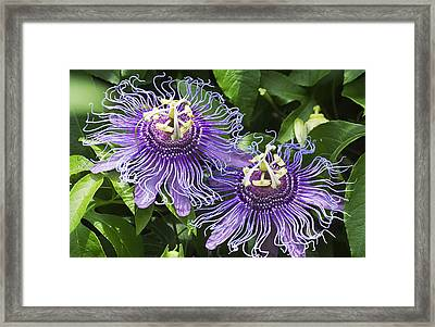 Passion Flowers Framed Print