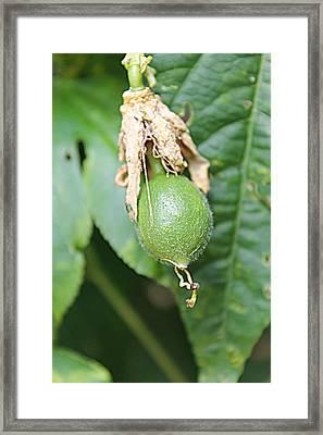 Passion Fruit Birth Framed Print by Sarah E Kohara