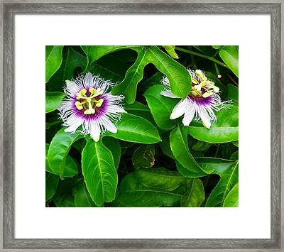 Passion Fruit Flowers Framed Print by Adriana Dolabella