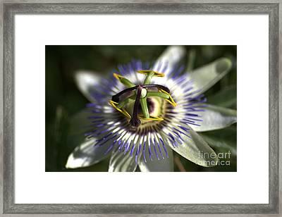 Passion  Framed Print by Joy Watson