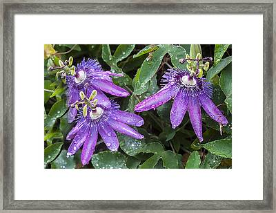 Passion Vine Flower Rain Drops Framed Print by Rich Franco