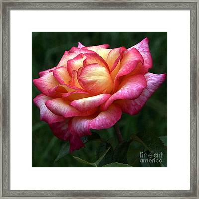 Passionate Shades Of A Perfect Rose Framed Print