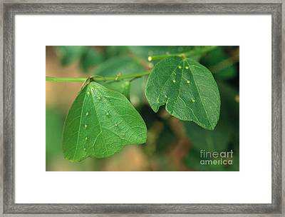 Passionflower Leaves Framed Print