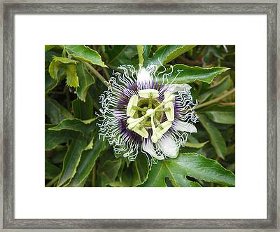 Passionflower  Framed Print by Noreen HaCohen
