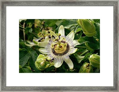Passionflower (passiflora Caerulea) Framed Print by Adrian Thomas
