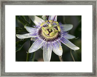 Passionflower Framed Print by Richard Thomas
