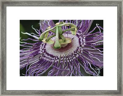 Passionflower Framed Print by Steven Foster