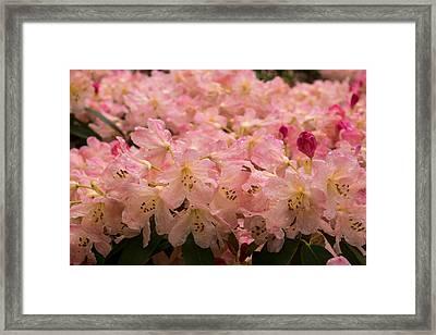 Pastel Coral Azaleas Refreshed By The Rains Framed Print by Georgia Mizuleva