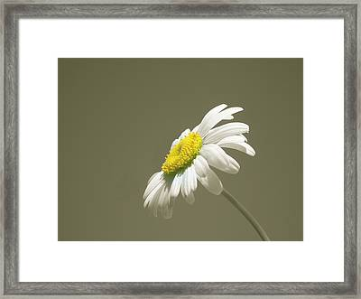 Pastel Daisy Flower Framed Print by David Dehner