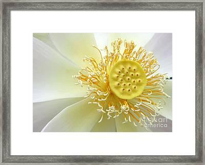 Pastel Lotus Framed Print by Sabrina L Ryan