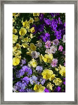 Pastel Pansies Framed Print