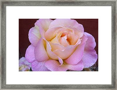 Pastel Rainbow Rose Framed Print