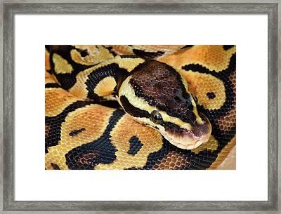 Pastel Royal Python Framed Print by Nigel Downer