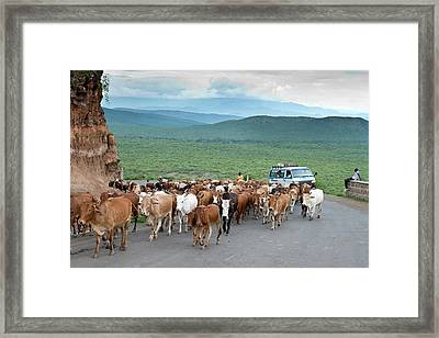 Pastoralists Moving Their Herd Framed Print by Tony Camacho