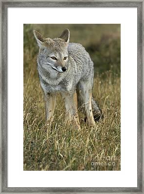 Patagonia Grey Fox Framed Print by John Shaw
