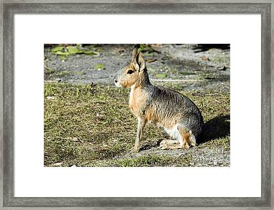 Patagonian Cavy Framed Print by Mark Newman