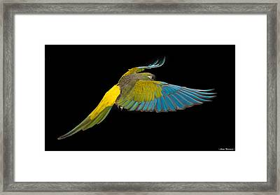 Patagonian Conure In Flight 2 Framed Print