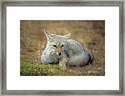 Patagonian Grey Fox Portrait Framed Print by James Brunker