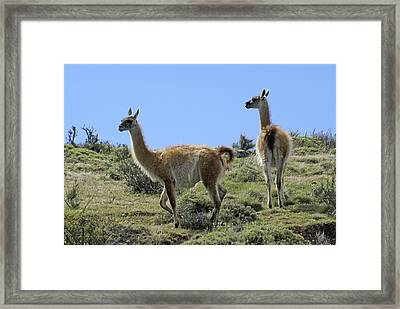Patagonian Guanacos Framed Print by Michele Burgess