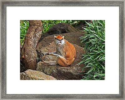 Framed Print featuring the photograph Patas Monkey by Kate Brown