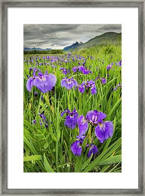 Patch Of Wild Irises On The Eklutna Framed Print by Carl Johnson