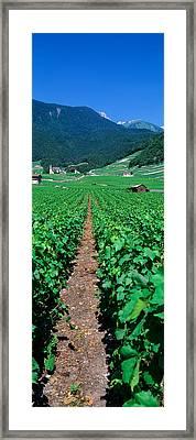 Path In A Vineyard, Valais, Switzerland Framed Print